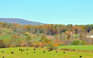 Blue Ridge Mountain spring scene of cows in the field
